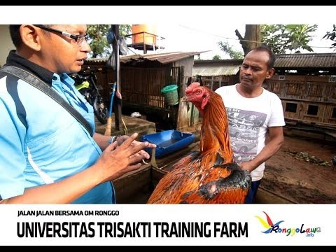 Trisakti Training Farm - Ayam Jago Bangkok video