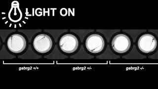 Light-induced reflex seizures in gabrg2–/– at 6 days post-fertilization (dpf).