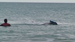 "Moko the ""friendly"" Dolphin Wainui Beach Gisborne 2009"