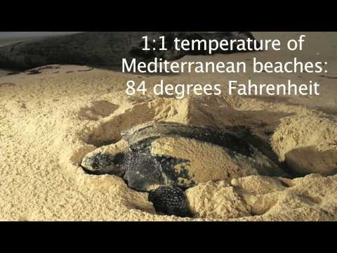Geography Video Project Sea Turtles and Climate Change