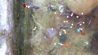 Cách nuôi cá 7 màu đẻ nhiều :)