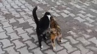 Two male cats reject same female cat in heat  ( Opposite World )