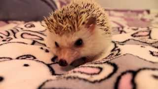 How to Pick Up and Hold a Hedgehog
