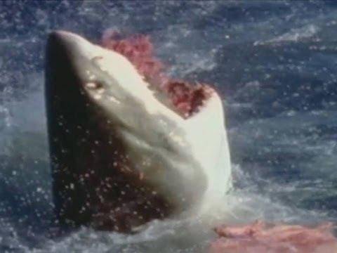 Duelo animal: Tiburón blanco vs León Marino // Animal Face-off: Great white shark vs Sea lion