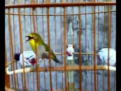 Kicau Burung video