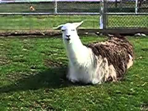 Chew Llama Chew