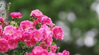 【新曲】バラよ 咲きなさい / 北原ミレイ Cover:山口えい子