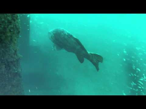 Diving ATLANTIS in Orange Beach, AL with 2 goliath grouper.