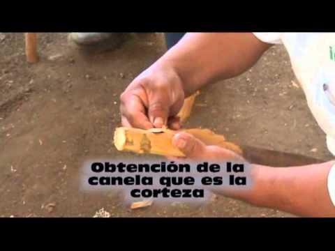 OBTENCION DE LA CANELA.wmv - YouTube