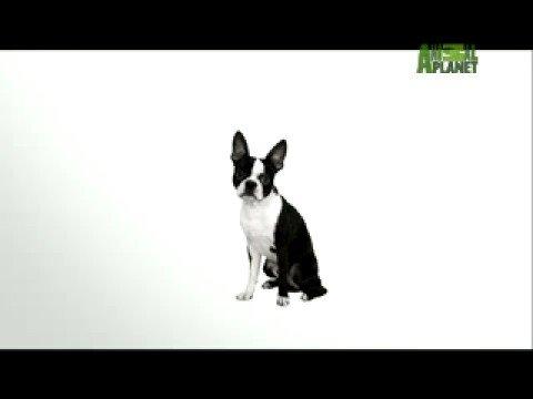 Τεριέ Βοστόνης - Boston terrier