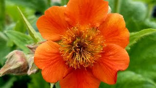Geum Rustico™ Orange  (Avens) // Wonderful Compact, Easy to Grow Perennial