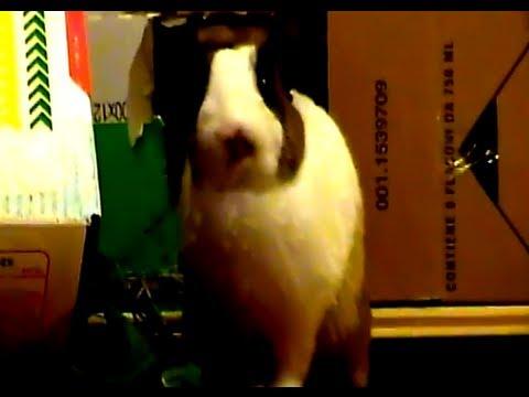Filmati divertenti animali – coniglio mini-triter (video)