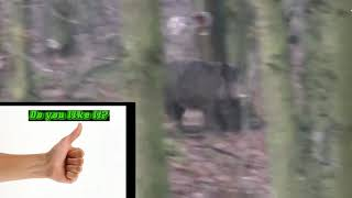 The most dangerous hunting for wild boar