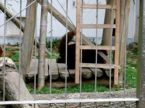 レッサーパンダ 親子の戯れ 池田動物園 フィンフィン&野風