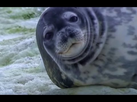 Weddell seals in Antarctica - Deep into the Wild - BBC