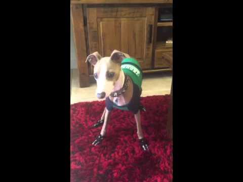 Luigi doesn't likes wearing shoes! Luigi the Italian Greyhound!