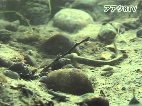 アアク8TV水中映像 ×Goovie 岐阜県の魚類05 絶滅危惧種No.1
