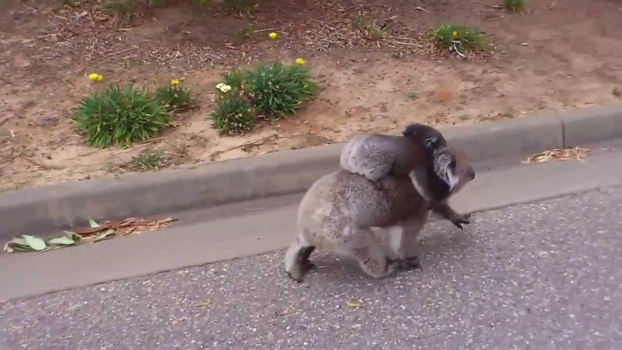 Koala Bear Angry Very Angry Koala - Did you