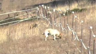 Dog vs. Coyote