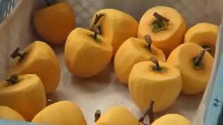 「柿取り&あんぽ柿作り体験」