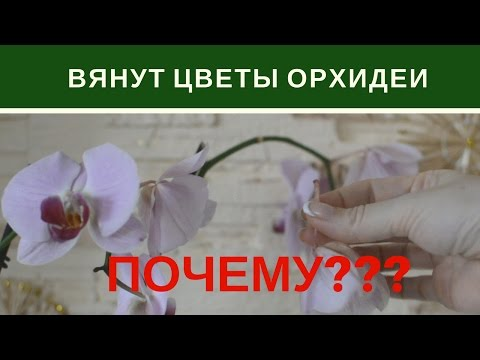 Почему Вянут Цветы Орхидеи Фаленопсис