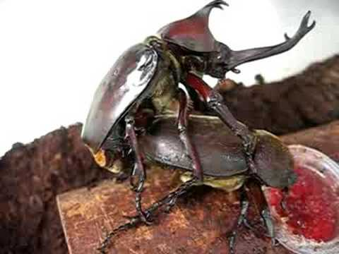 The copulation of the beetle カブトムシの交尾 2 - YouTube