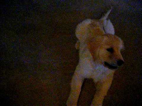8 week old golden retriever puppy pictures. Bodhi- 13 week old Golden