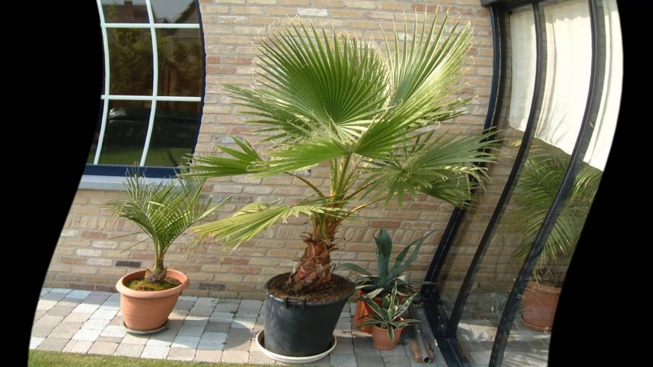 Как ухаживать за домашней пальмой в домашних условиях 615