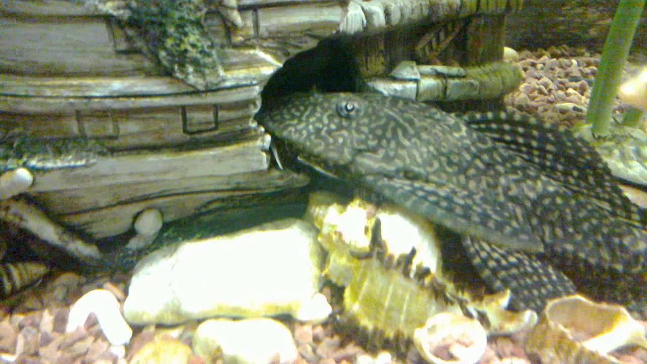 аквариумные рыбки видео больших сомов