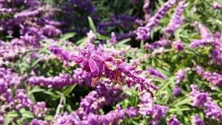 Salvia leucantha - Santa Barbara - Purple Mexican Bush Sage HD 02