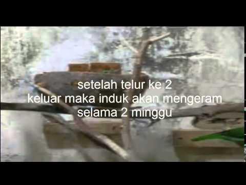 Cara Ternak Burung Cucak Ijo video