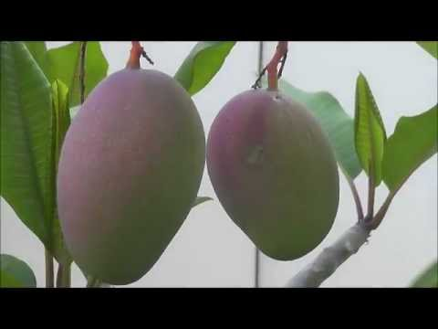 How To Grow The Tommy Atkins Mango Tree video