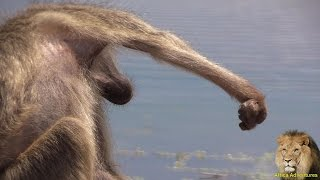 Baboon With Deformed Claw Spotted In Kruger Park