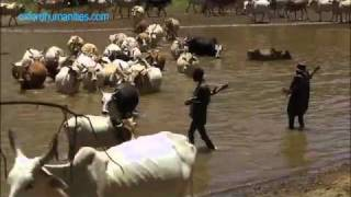 Cows, Guns and Rustlers - Africa