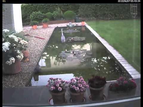 Gefrässiger Graureiher Frisst Alle Fische Im Gartenteich