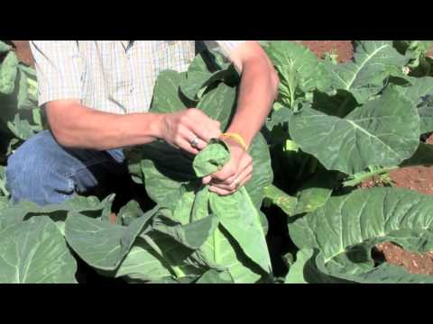 Banding Cauliflower - How To Gardening Guide