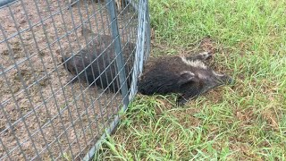 More BAD hogs caught!