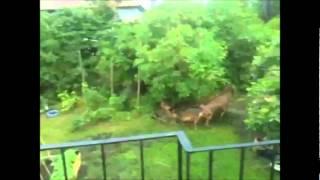 Deformed deer found in Swedish garden