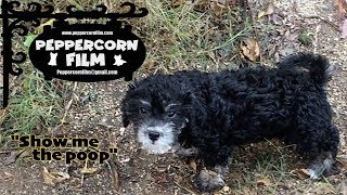 Peppercorn Morkie Dog Show Me The Poop Trick Training