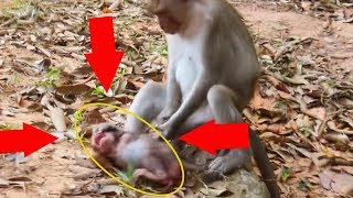 Why Female monkey doing on newborn baby cry loudly die?/Incredible Female mistreat calie die/