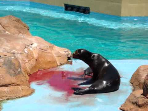 Sea Lion giving birth. - YouTube