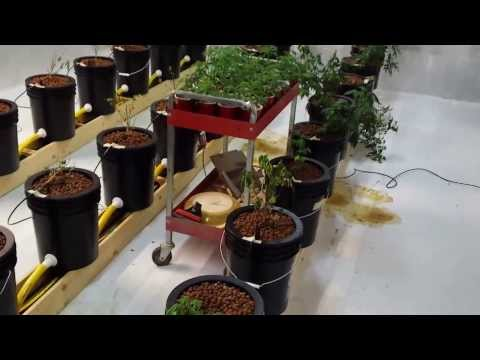 Hydroponics Marijuana Medical Grow  Failed First Attempt