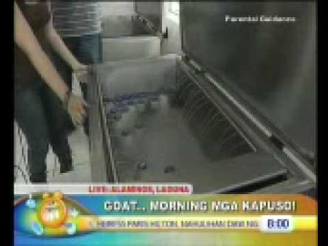 Unang Hirit: Goat Morning at Alaminos Goat Farm Part 2