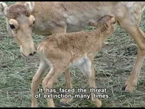 Save the Saiga (Kazakh with English subtitles)