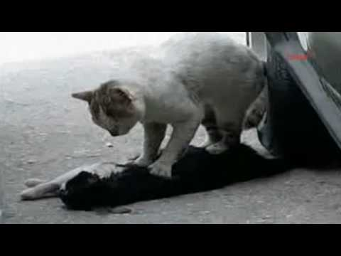 Cat gives a cardiac massage to his injured girlfriend
