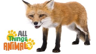 FOXES: Animals for children. Kids videos. Kindergarten | Preschool learning