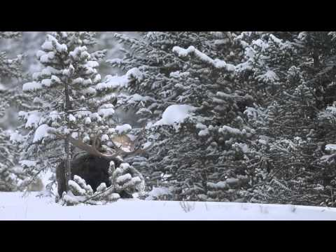 Winter in the Park: Yellowstone Winter Wildlife and Scenery, 2012-13