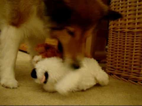 Cute Sheltie - with giggling stuffie (Ginger Dog)