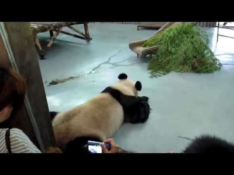 Horror at Shanghai Zoo, China: bears, red & giant panda