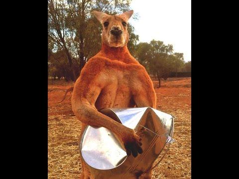 7 secrets of Roger The Kangaroo, Strongest Animal Bodybuilder Ever [france, italy, spanish ]